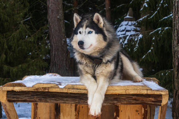 Alaskan malamute funny face on the winter background. Pretty dog. Animal concept. Alaskan malamute funny face on the winter background. Pretty dog. Animal concept. malamute stock pictures, royalty-free photos & images