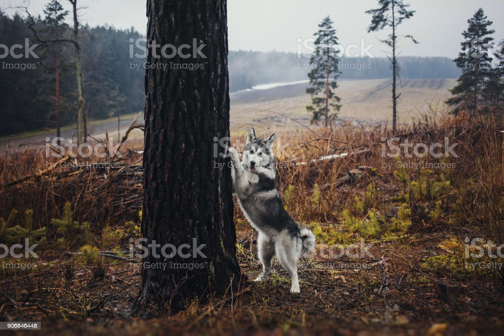 Alaskan Malamute in the forest like a wolf stock photo