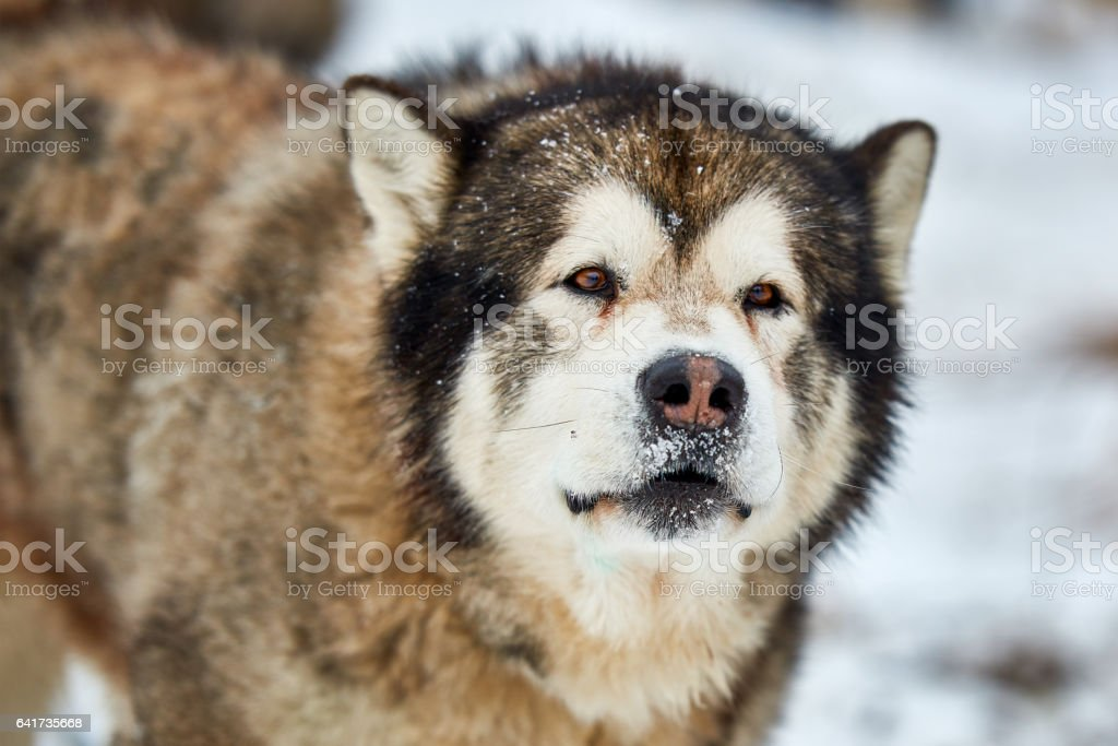 Alaskan malamute in the nature, in the winter time. stock photo