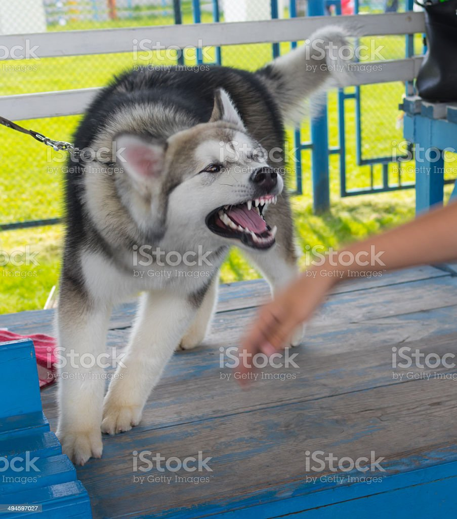 Alaskan Malamute is trying to bite human hand stock photo