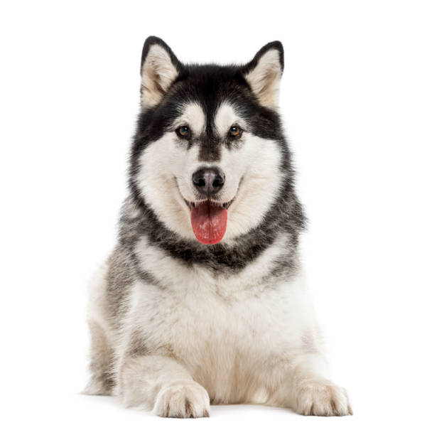 Alaskan Malamute isolated on white Alaskan Malamute lying down and looking at the camera, sticking the tongue out, isolated on white sled dog stock pictures, royalty-free photos & images