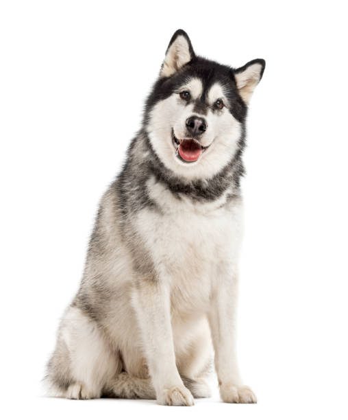 Alaskan Malamute isolated on white Alaskan Malamute looking at the camera, sticking the tongue out, isolated on white malamute stock pictures, royalty-free photos & images