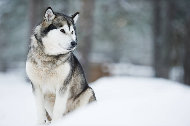 Alaskan Malamute Portrait of Alaskan Malamute sitting in snow. Selective focus and shallow depth of field. malamute stock pictures, royalty-free photos & images