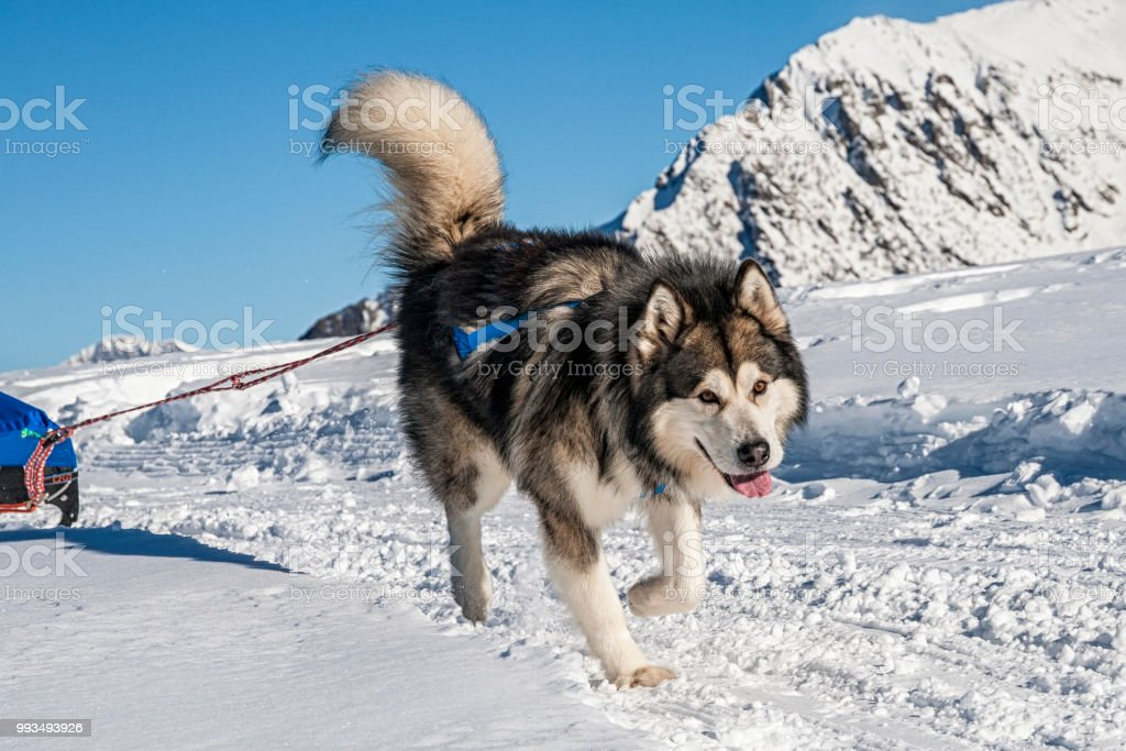 Alaskan Malamute stock photo