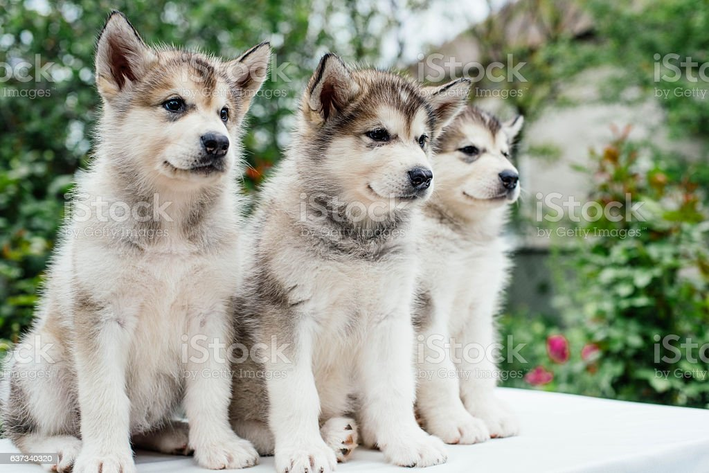 alaskan malamute puppies playing in garden stock photo