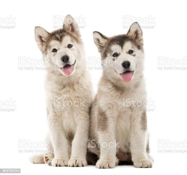 Alaskan malamute puppies sitting and panting isolated on white picture id823792224?b=1&k=6&m=823792224&s=612x612&h=qdjxsa9nofluursgwtf1dmxpz ossremtsig2qzrfcu=