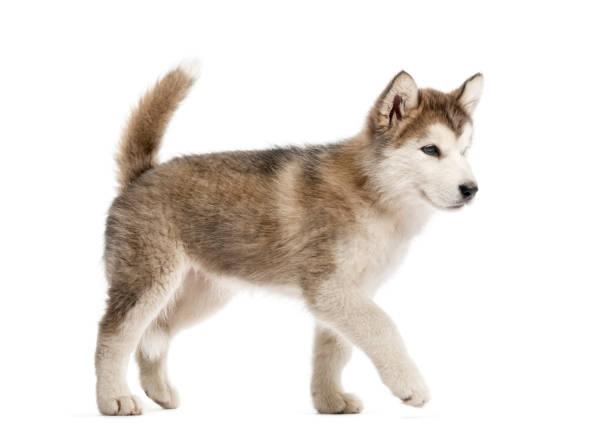 Alaskan malamute puppy walking isolated on white picture id823792300?b=1&k=6&m=823792300&s=612x612&w=0&h=kpsrfrwxyxi q 4my nasuj5r8ostgtr8 bybtvxmoo=