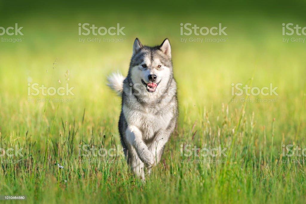 Alaskan malamute running stock photo