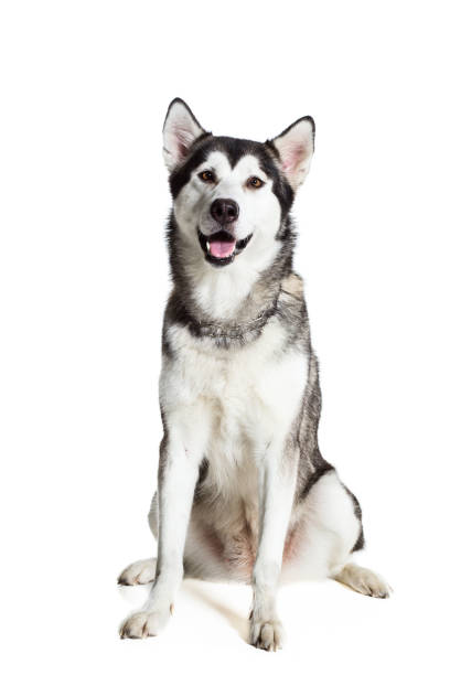 Alaskan Malamute sitting in front of white background stock photo