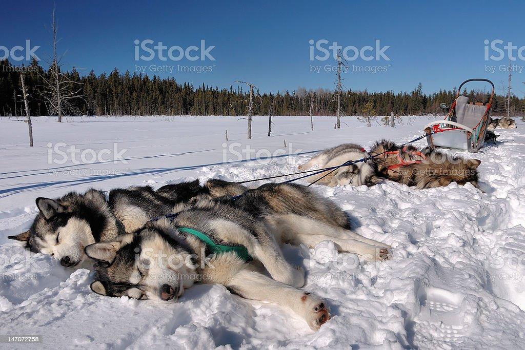 Alaskan Malamutes sleeping stock photo