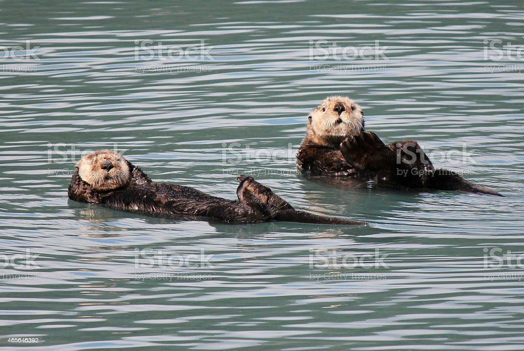 Alaskan Otter stock photo