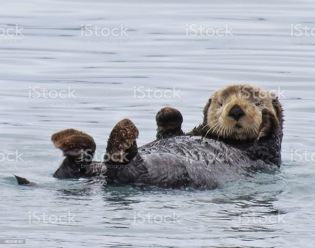 Alaskan Sea Otter stock photo