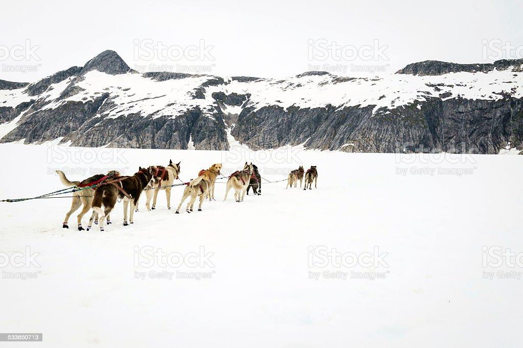 Alaskan sled dogs on a rest break stock photo