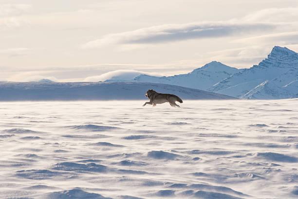 アラスカツンドラウルフ - ツンドラ ストックフォトと画像
