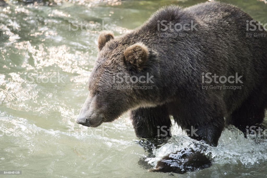Alaskan wild bear stock photo