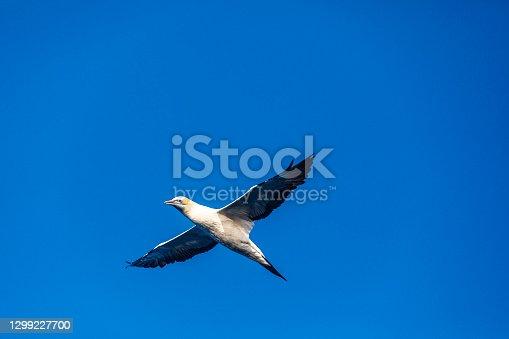 Albatros bird of prey flying in clear blue sky