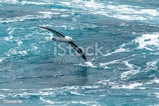 Albatros in flight near the Antarctic peninsula.