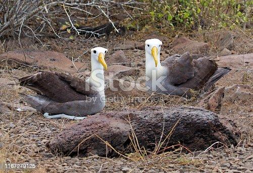 Albatross birds taken onGalapagos islands