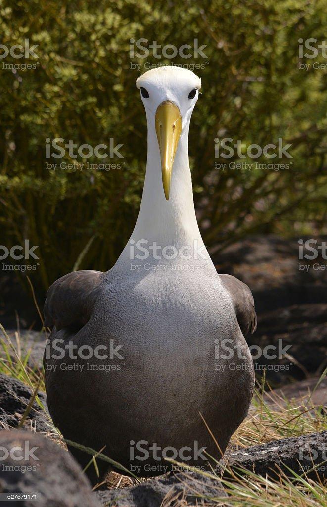 Albatros, islas galápagos - foto de stock