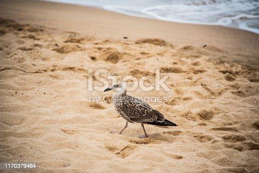 An albatross in a beach in Spain