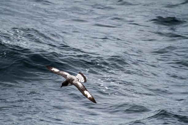 Albatros en Antarctique - Photo