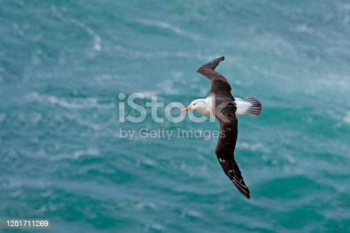 Albatross in fly with sea wave in the background. Black-browed albatross, Thalassarche melanophris, bird flight, wave of the Atlantic sea, on the Falkland Islands. Action wildlife scene from the ocean