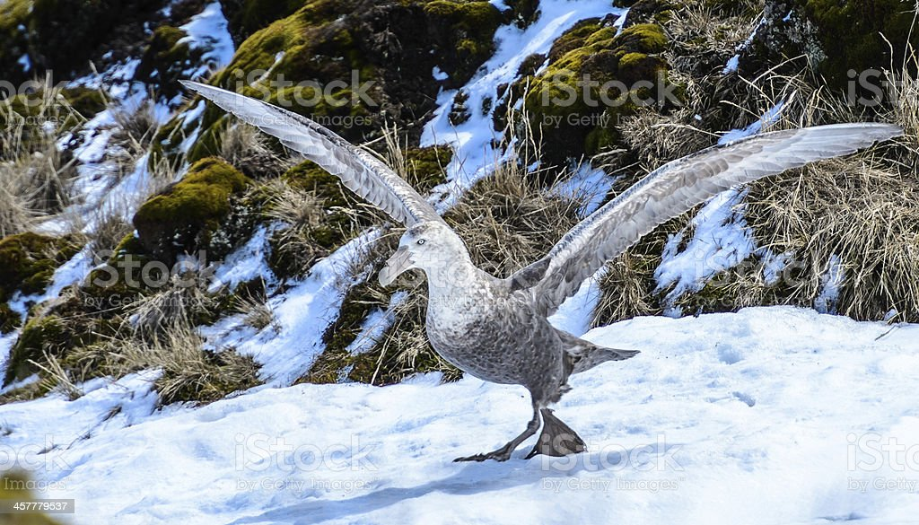 Albatross is about to take off with the huge wings. royalty-free stock photo