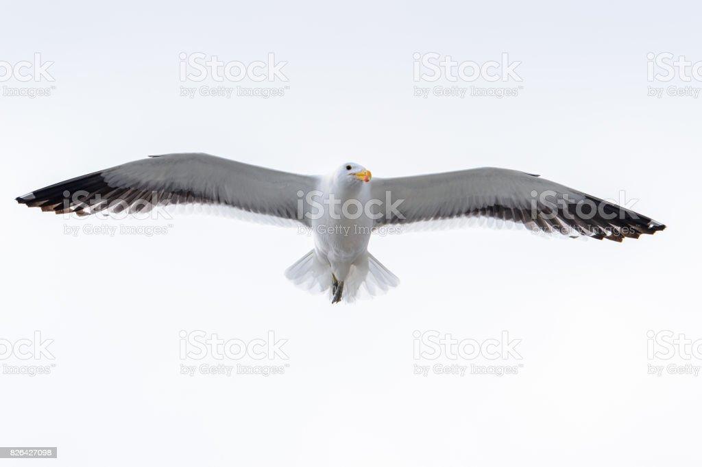 Albatros de la bahía de Walvis, Namibia - foto de stock