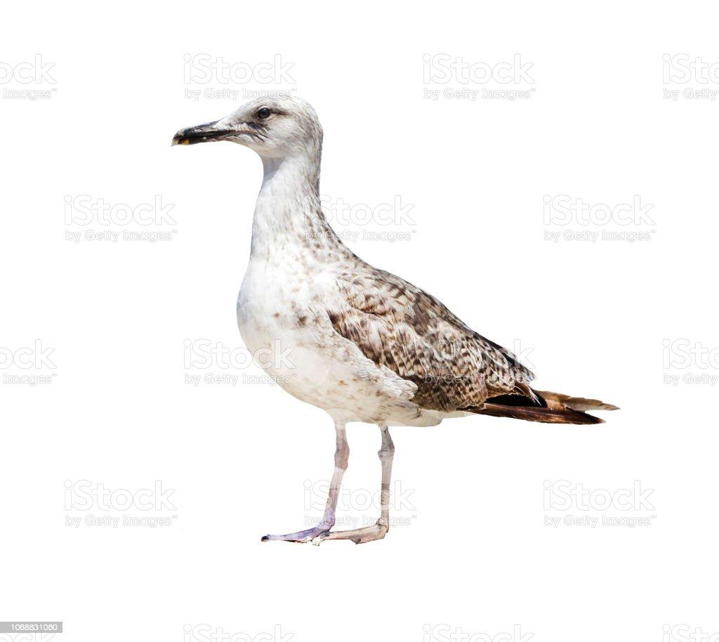 Albatros, sobre un fondo blanco, aislar. - foto de stock