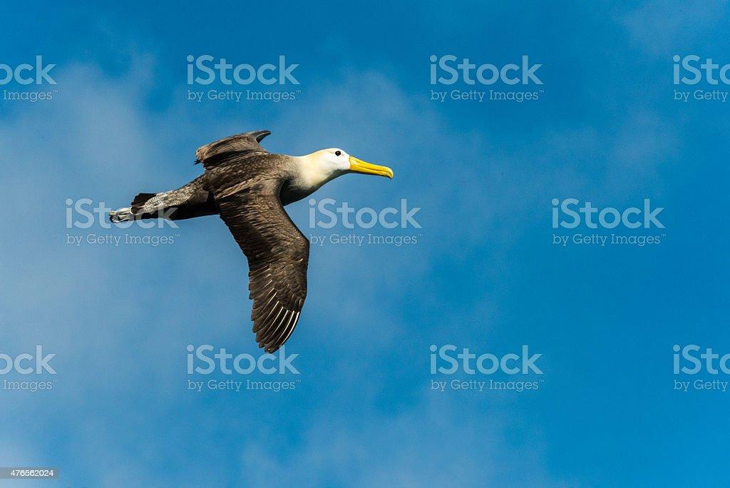 Albatross on the Side stock photo