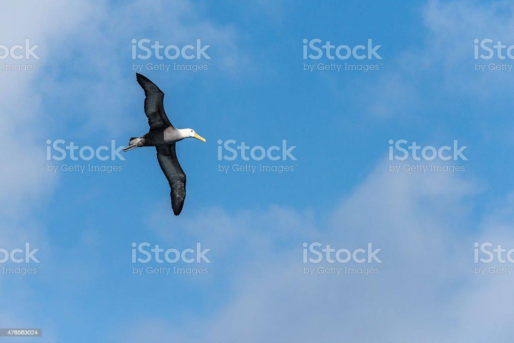 Albatross with Blue Sky stock photo