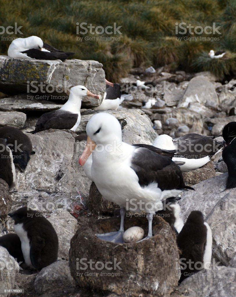 Albatros con su huevo - foto de stock