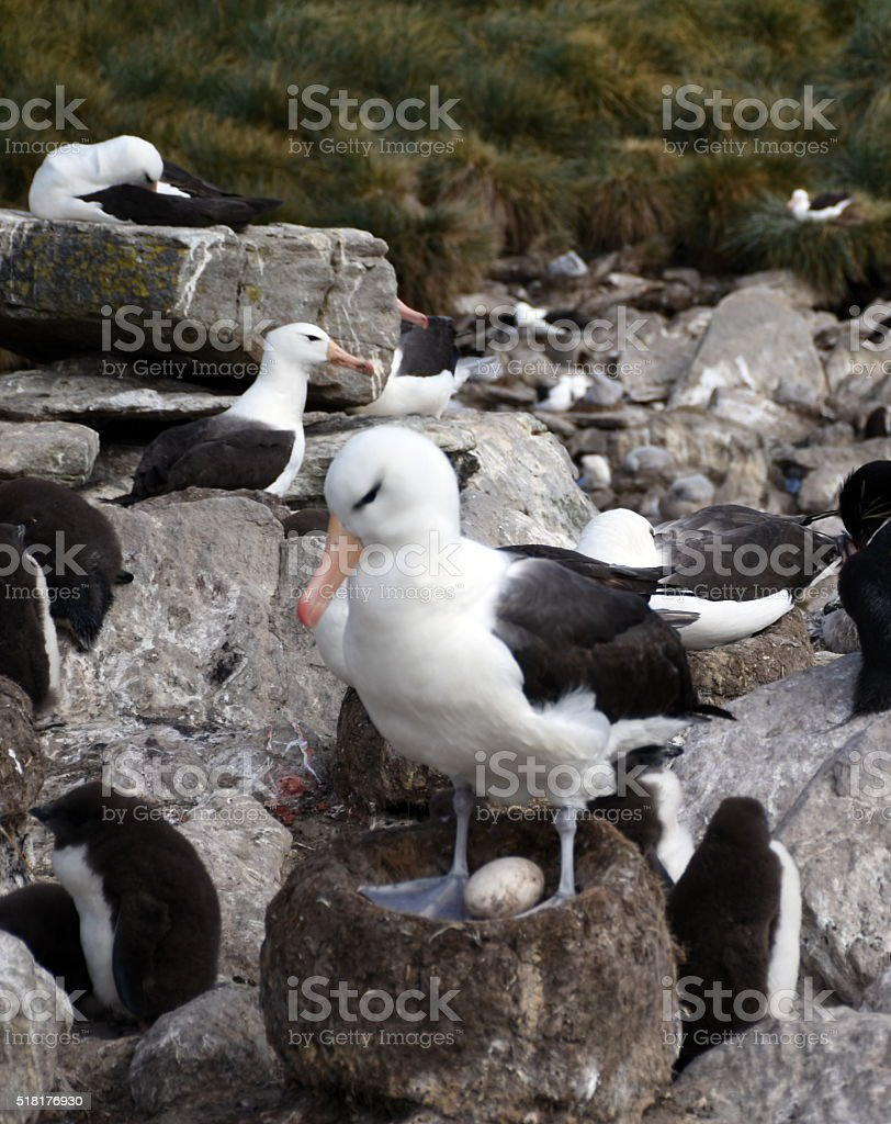 Albatros mit Ei – Foto