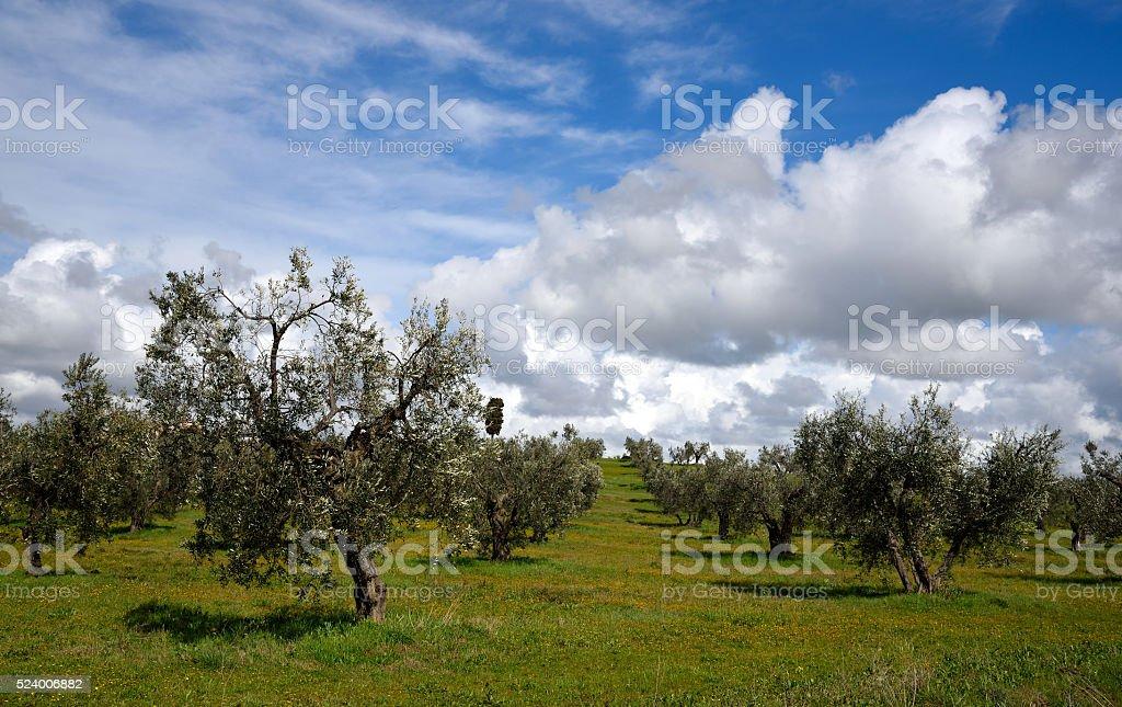 alberi di olivo in primavera stock photo