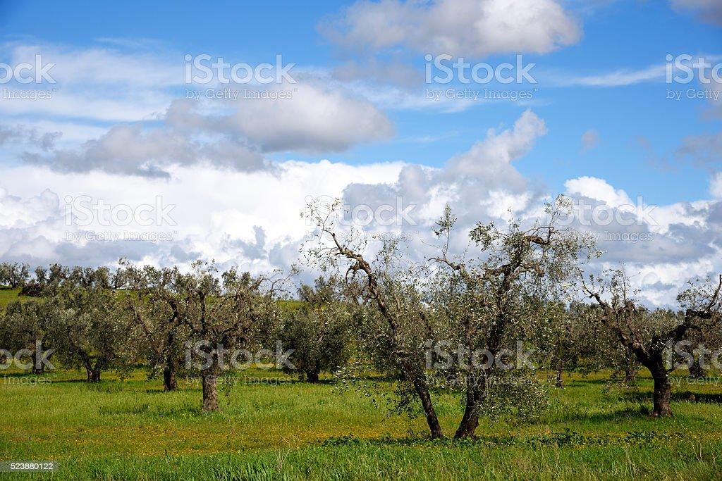 alberi di olivo stock photo