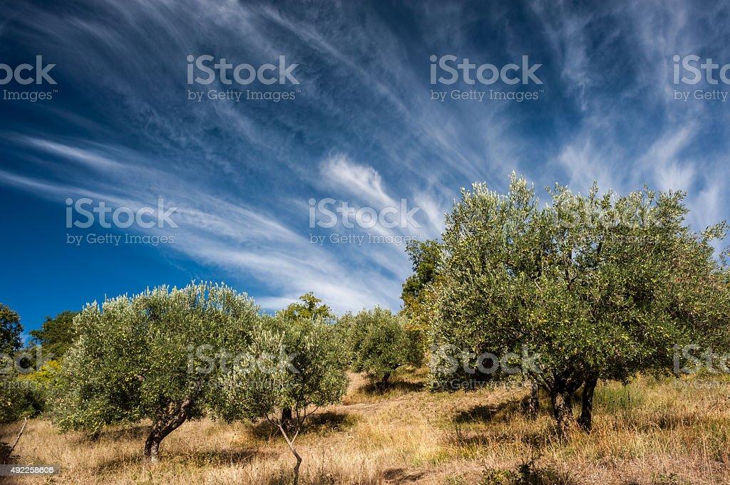 alberi di ulivo stock photo