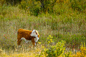 Cattle ranch in Rural Alberta Canada
