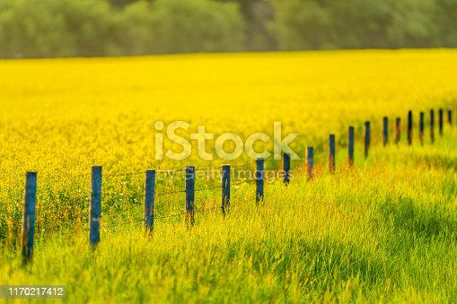 Canola farming in rural Alberta Canada