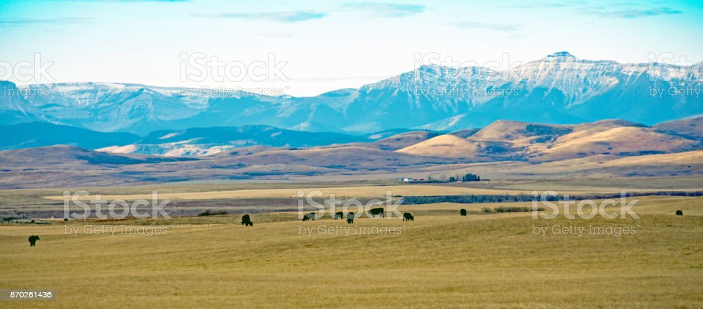Alberta foothills and mountains with cattle and grasslands stock photo