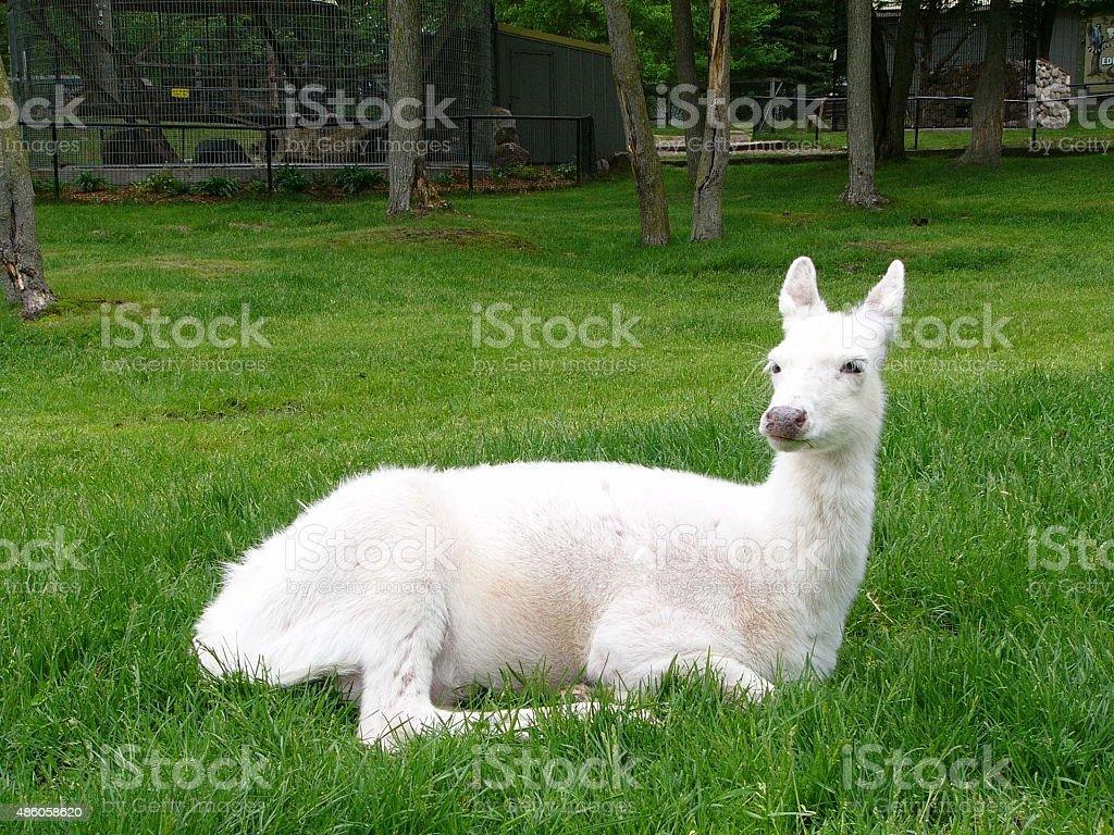 Albina deer stock photo