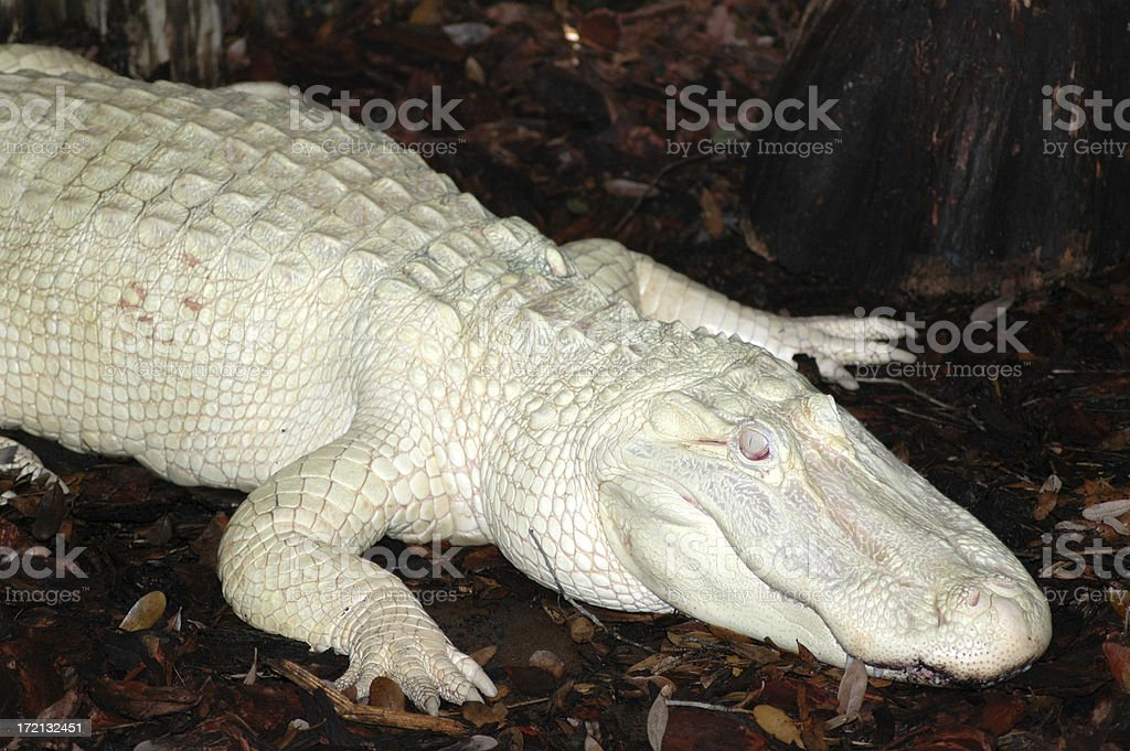 Albino Alligator in St. Augustine stock photo