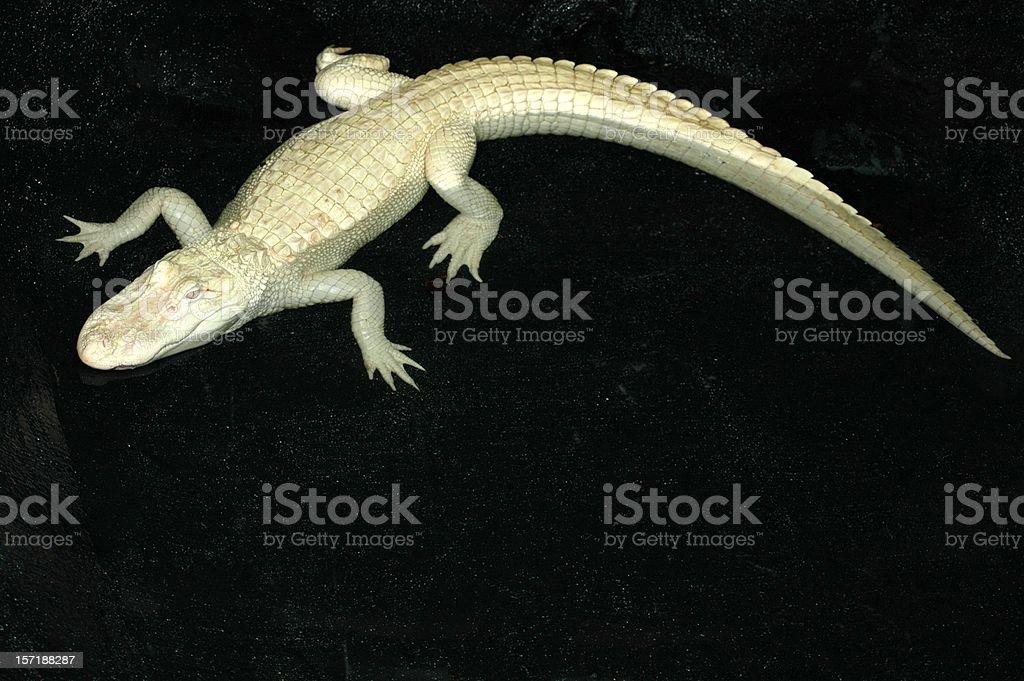 Albino Alligator on Black Background stock photo