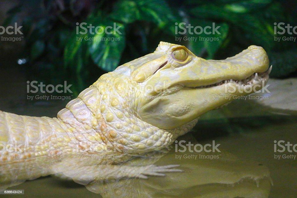 Albino alligator stock photo