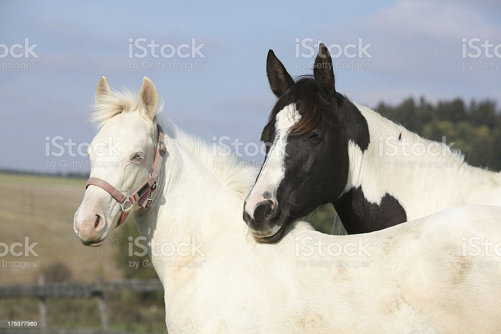 Albino and paint horse together royalty-free stock photo