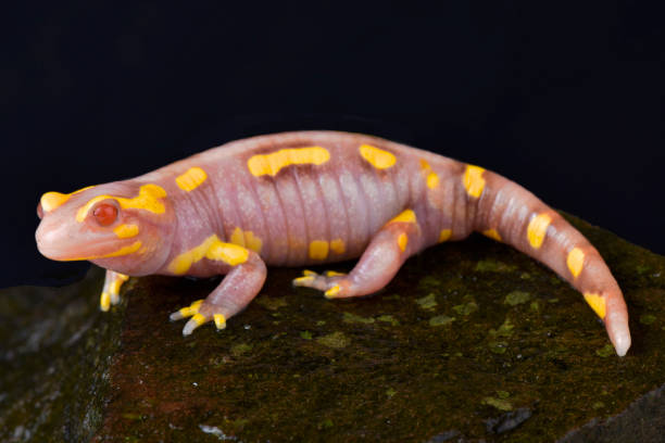 Albino Bared salamandre, Salamandra terrestris albinos - Photo