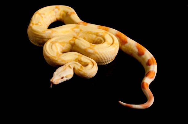 albino boa - snake strike stock photos and pictures