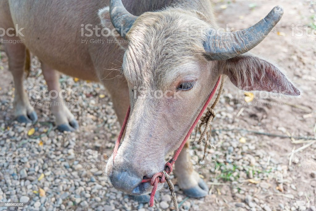 Albino buffalo animal agriculture in countryside stock photo