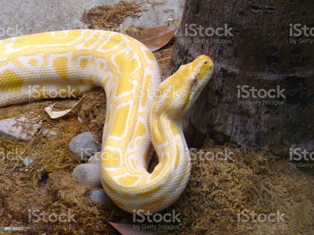 Fotografía de Serpiente Pitón Birmana Albina De Asia y más banco de ...