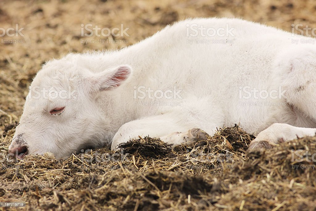 Albino Calf Buffalo Bison Cow Hybrid royalty-free stock photo