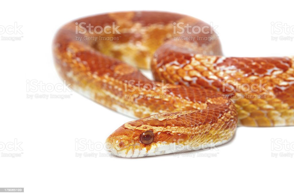 Albino corn snake royalty-free stock photo